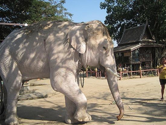 22. white elephant