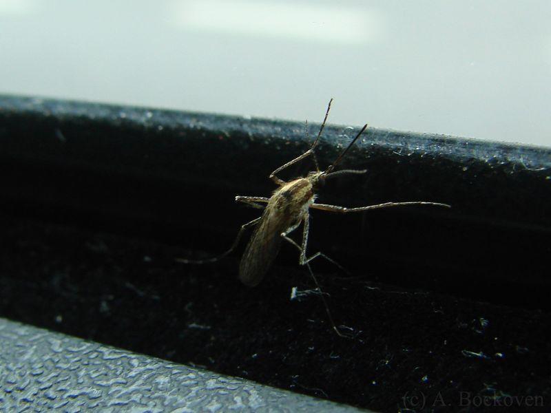 Mosquito-argentina-close-up