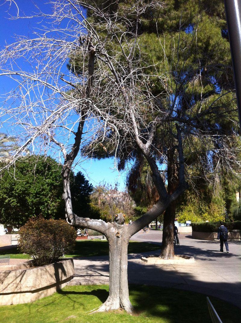 ASU Tree